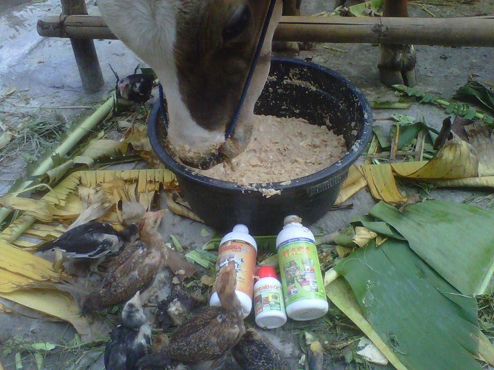 ternak-yang-menguntungkan-dalam-waktu-singkat-cara-penggemukan-sapi-limocin-super-nasa-kaltim