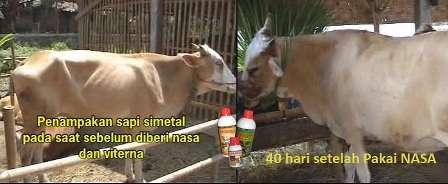 cara-penggemukan-sapi-untuk-usaha-terna-sapi-nasa-kaltim